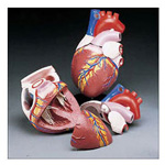 Jumbo heart model, Budget, 4 times life size, mounted on stand, 8inch x 8inch x 11 3/4inch