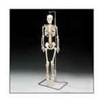 Mr. Thirfty, Flexible Skeleton, Desktop Model w/Stand, 33 1/2inch, w/Spinal Nerves, Flexible Spine