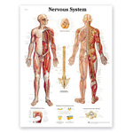 Peter Bachin Anatomical Chart Series