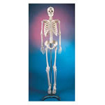 Skeleton, Plastic, Economical, Articulated, Adult 5 foot 6inch, Mounted on a 16in Wide Metal Base