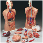 Full-Size Male Torso, Dissectible - 19 part, mounted on base, Ht: 33inch