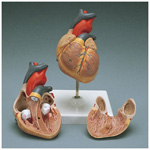 Heart Model, Anatomically correct, Dissectible - 2 parts, 12cm x 12cm x 22cm