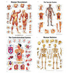 Anatomical Chart, 3B Scientific, Human Skeleton, Laminated, 20inch x 26inch