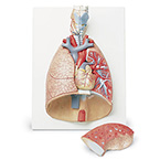Lung Model, Deluxe, 7-Part, includes Larynx, Baseboard, Key Card, 12.25 x 16 x 4.75-inches